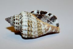 Mar acanalado Shell de Cantharus Fotos de archivo