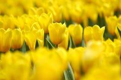 Mar amarelo do Tulipa imagem de stock