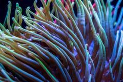 Mar Anemone Background Fotos de archivo libres de regalías