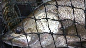 Mar Bass Caught almacen de metraje de vídeo