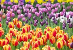Mar colorido de tulipanes hermosos Imagen de archivo libre de regalías