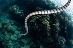 Mar congregado que nada Krait en Indonesia Imagen de archivo libre de regalías
