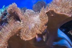 Mar coralino de la flora de la anémona de las plantas de agua tropicales Foto de archivo