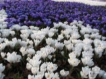 Mar da mola das flores - açafrões Imagem de Stock