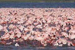 Mar de flamingos cor-de-rosa, Kenya Imagens de Stock
