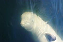 Mar de japão. Baleias 3 Imagens de Stock Royalty Free