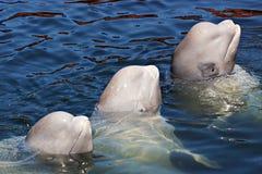 Mar de japão. Baleias 7 Foto de Stock Royalty Free