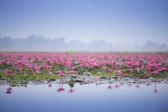 Mar de lótus bonitos cor-de-rosa Imagens de Stock