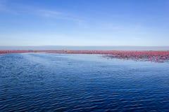 Mar de lótus vermelhos Imagens de Stock