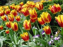 Mar de tulipanes Foto de archivo