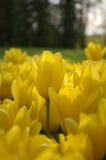 Mar de tulipanes Fotos de archivo