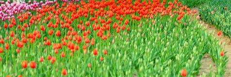 Mar de tulipanes coloridos Imagen de archivo libre de regalías