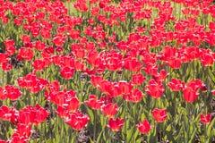 Mar de tulipanes rojos Imagenes de archivo