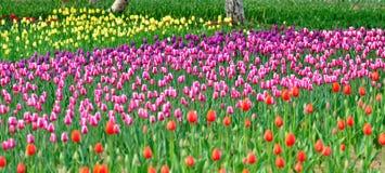 Mar de tulips coloridos Imagens de Stock Royalty Free