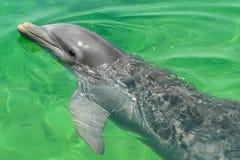 Mar del Caribe, Cayo Largo del Sur, delfín en el mar fotografía de archivo