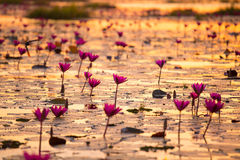 Mar del loto rosado y rojo fotos de archivo