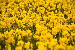 Mar dos Daffodils Fotografia de Stock