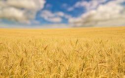 Mar dourado do trigo sob o céu azul Fotos de Stock