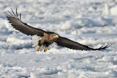 Mar Eagle fotografia de stock