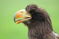 Mar Eagle Imagenes de archivo