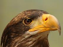 Mar Eagle Fotos de Stock Royalty Free