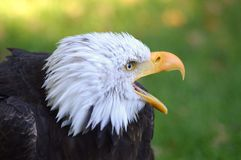 Mar Eagle Foto de archivo