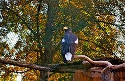 Mar Eagle Imagens de Stock