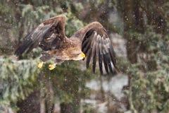 Mar Eagle Foto de archivo libre de regalías