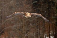 Mar Eagle Fotografía de archivo