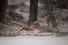 Mar Eagle Imagen de archivo