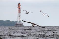 Mar Eagle atado blanco imágenes de archivo libres de regalías