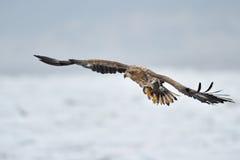mar Eagle Blanco-atado Imagen de archivo
