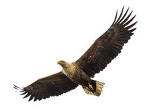 mar Eagle Branco-atado em voo. Fotografia de Stock Royalty Free