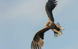 Mar Eagle de la caza Fotos de archivo