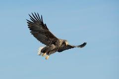 Mar Eagle de la caza Imagen de archivo
