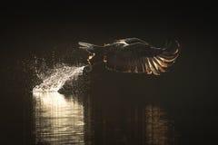 Mar Eagle de la caza imágenes de archivo libres de regalías