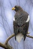 Mar-Eagle de Steller alerta empoleirado em uma árvore Fotografia de Stock Royalty Free