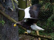 Mar Eagle de Steller em voo Fotos de Stock Royalty Free