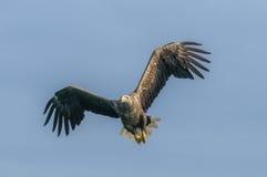 Mar Eagle en vuelo Fotos de archivo