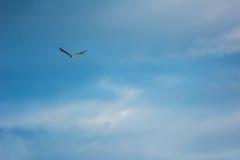 Mar Eagle hinchado blanco Fotografía de archivo