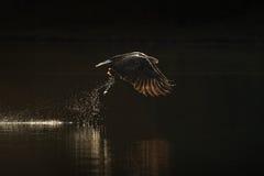 Mar Eagle Hunting Imagen de archivo