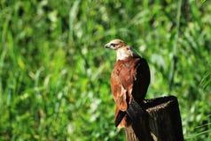 Mar-Eagle Rojo-apoyado Imagenes de archivo