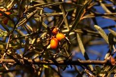Mar-espinheiro cerval Árvore do jardim Foto de Stock