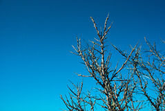Mar-espinheiro cerval Foto de Stock Royalty Free