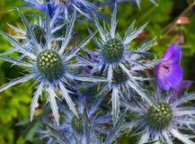 Mar Holly Blue Eryngium Thistle no jardim com fundo verde fotos de stock