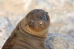 Mar Lion Galapagos do bebê Imagens de Stock Royalty Free