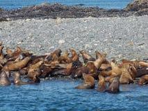 Mar Lion Gathering imagenes de archivo