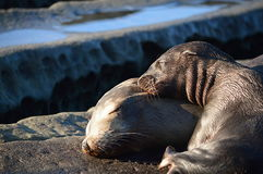 Mar Lion Pup Sleeping del bebé encima de la cabeza de las madres Fotos de archivo libres de regalías