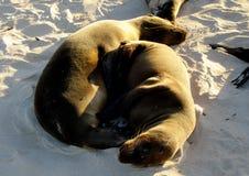 Mar Lion Pups de los pagos del ¡de Galà Imagen de archivo