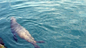 Mar Lion Swimming Near Fishing Pier Monterey California metrajes